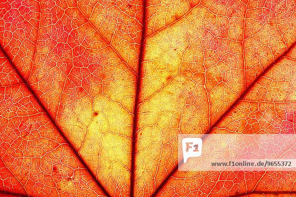 Herbstblatt  Amerikanischer Amberbaum (Liquidambar styraciflua)