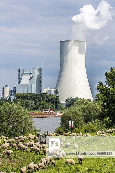 Schafe auf der Weide vor dem STEAG Steinkohlekraftwerk Walsum  Kühlturm von Block 10  am Rhein  Duisburg  Ruhrgebiet  Nordrhein-Westfalen  Deutschland  Europa