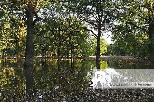 Summer floods in a hardwood floodplain forest  Middle Elbe Biosphere Reserve  Dessau-Rosslau  Saxony-Anhalt  Germany  Europe