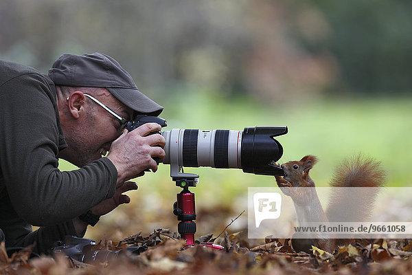 Neugieriges Eichhörnchen (Sciurus vulgaris)  inspiziert Kameratechnik  Auge in Auge mit dem Fotografen  Parkanlage  Leipzig  Sachsen  Deutschland  Europa