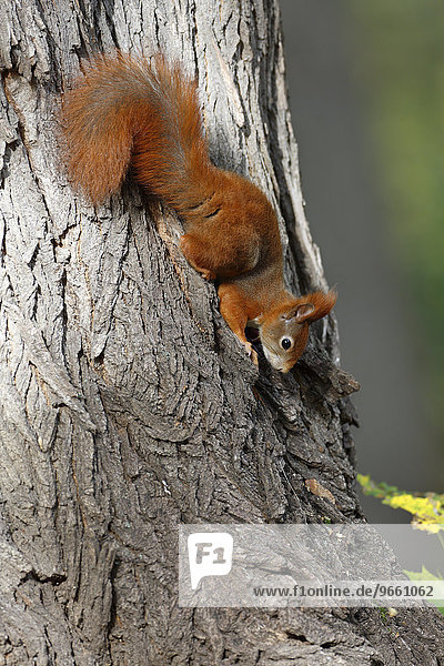 Red Squirrel (Sciurus vulgaris)  balancing upside down on a tree in a park  Leipzig  Saxony  Germany  Europe