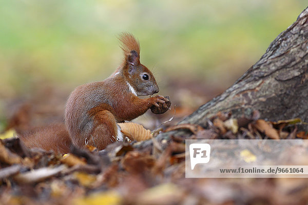Red Squirrel (Sciurus vulgaris)  with a nut in a park  Leipzig  Saxony  Germany  Europe