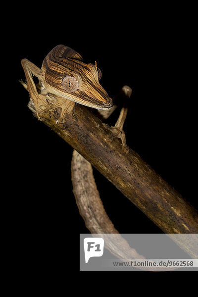 Bambus-Blattschwanzgecko (Uroplatus lineatus) im Regenwald von Marojejy  Nordost-Madagaskar  Madagaskar  Afrika