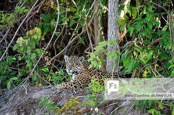 nahe liegend liegen liegt liegendes liegender liegende daliegen Raubkatze Jaguar Panthera onca Fluss 1 Nebenfluß Bank Kreditinstitut Banken Brasilien Porto