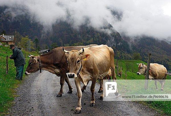 Hausrind Hausrinder Kuh überqueren Fernverkehrsstraße wechseln Wiese Engelberg Schweiz