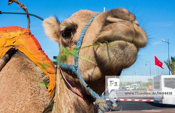 nahe Straße Großstadt Close-up Gras essen essend isst Marrakesch Koutoubia-Moschee Kamel Innenstadt Marokko Moschee