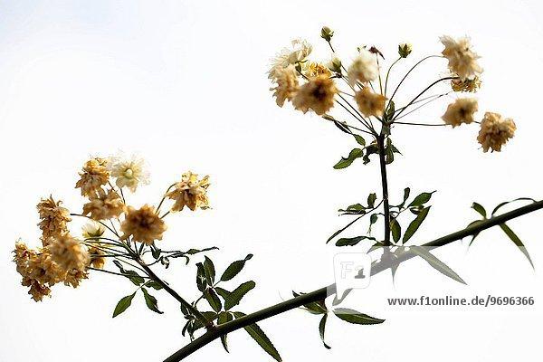Blume Baum gelb Ast schießen Studioaufnahme