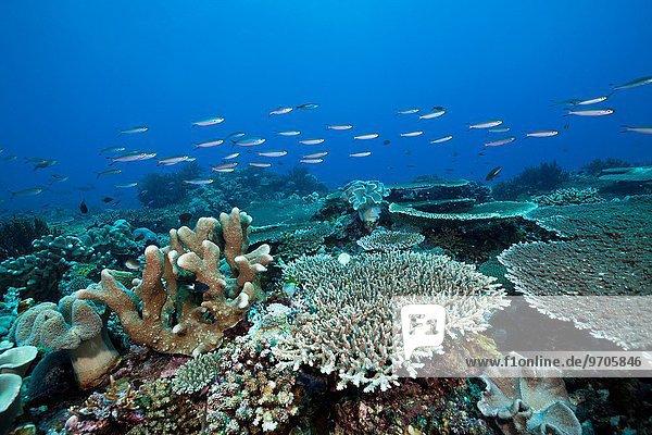 Koralle hart Indonesien Riff