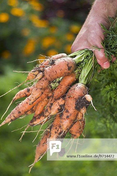 Männerhand umfasst einen Bund frisch geernteter Möhren im Garten