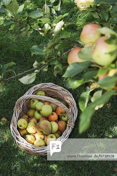 Korb mit gepflückten Äpfeln unter Apfelbaum auf einer Wiese Korb mit gepflückten Äpfeln unter Apfelbaum auf einer Wiese