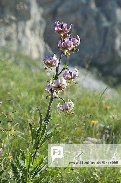 Türkenbund-Lilie (Lilium martagon)  blühend  Bergwiese  Südtirol  Italien  Europa