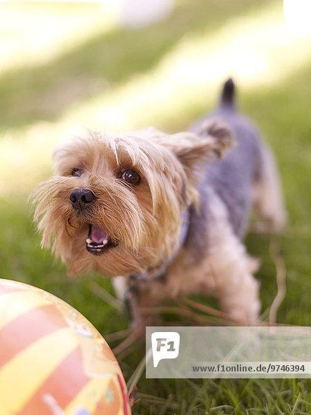 Hund Gras Ball Spielzeug spielen