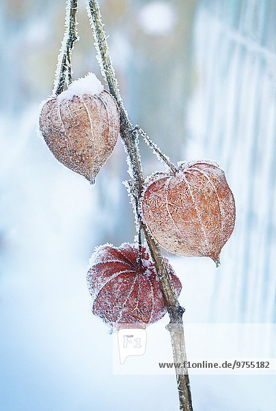 Frost on Chinese lanterns,  close-up