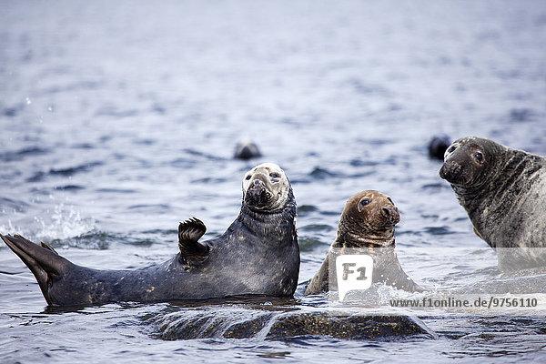 Meer Seelöwe