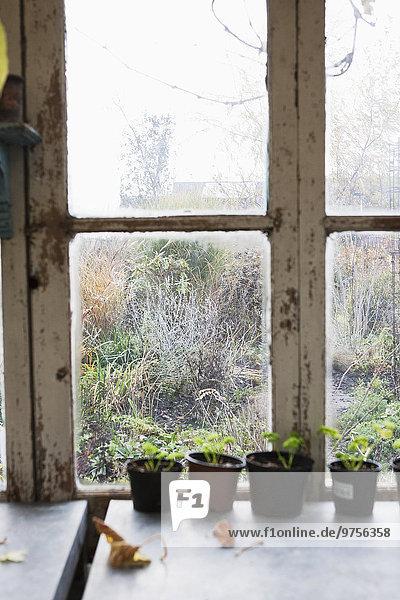 Pflanze Topfpflanze Fensterbank