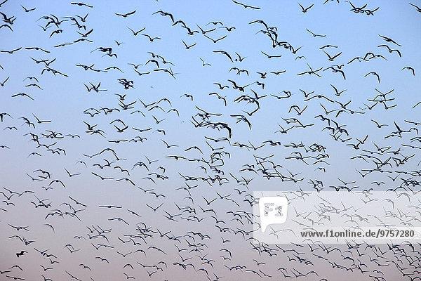 Spanien  Vogelschwarm gegen klaren Himmel
