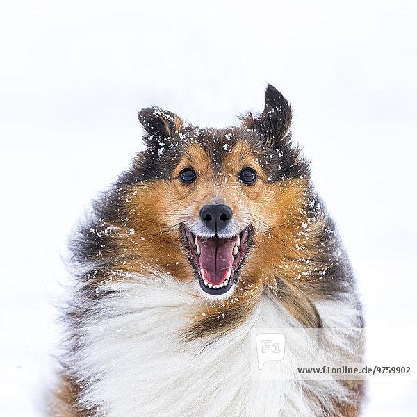 Deutschland  Shetland Sheepdog  Porträt im Winter