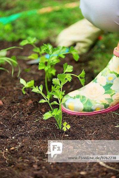 Frauenhände beim Pflanzen von Kräutern im Garten