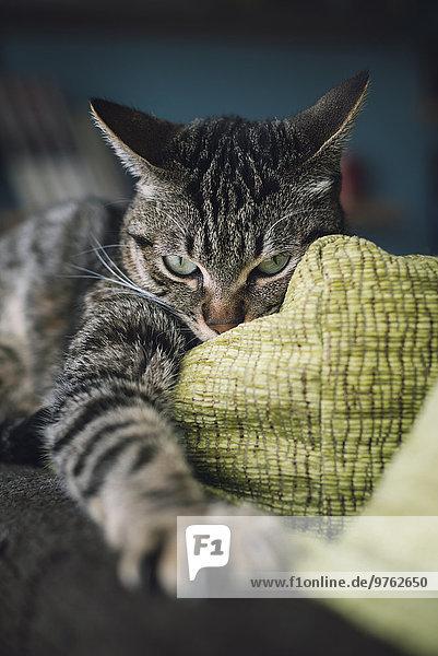 Aggressive Katze mit ausgestreckter Pfote auf der Couch Aggressive Katze mit ausgestreckter Pfote auf der Couch
