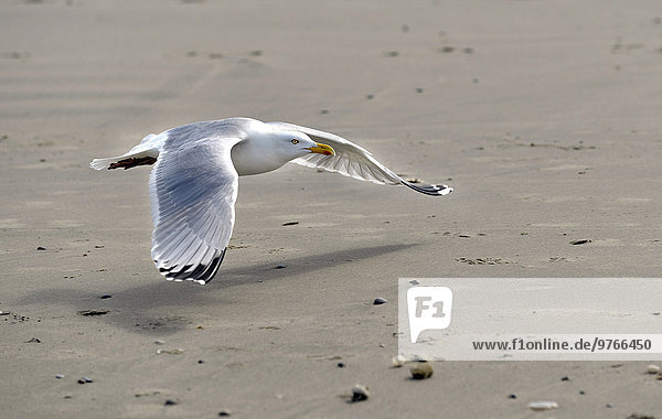 Silbermöwe am Strand der Insel Juist  Niedersachsen  Deutschland