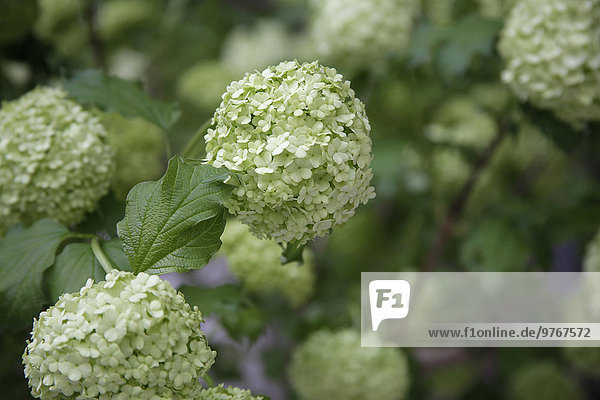Blumen im Keukenhof  Niederlande