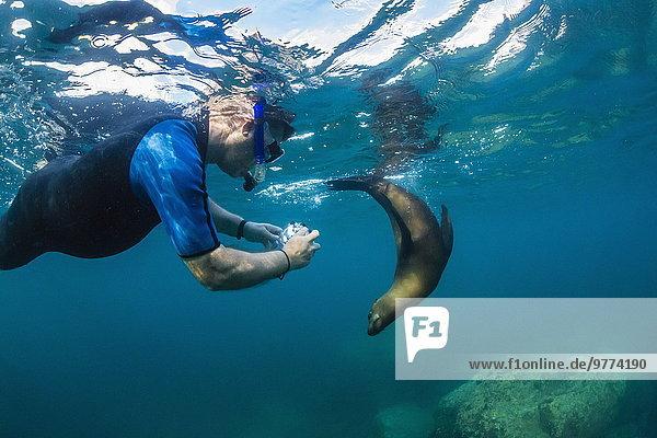 Seelöwe Unterwasseraufnahme unter Wasser Nordamerika Mexiko jung schnorcheln Kalifornien Schnorchler