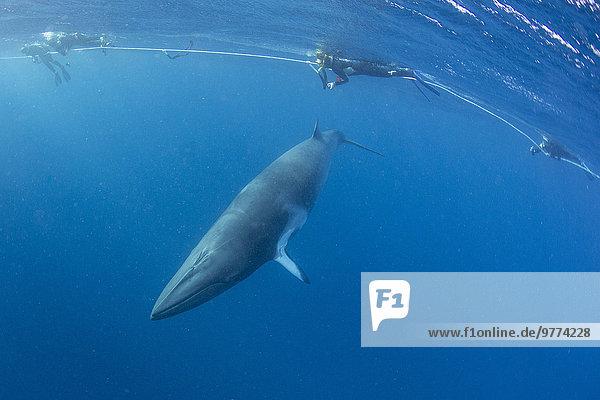 nahe Band Bänder Pazifischer Ozean Pazifik Stiller Ozean Großer Ozean Großes Barriereriff great barrier reef schnorcheln 10 Erwachsener Australien Queensland Riff Wal