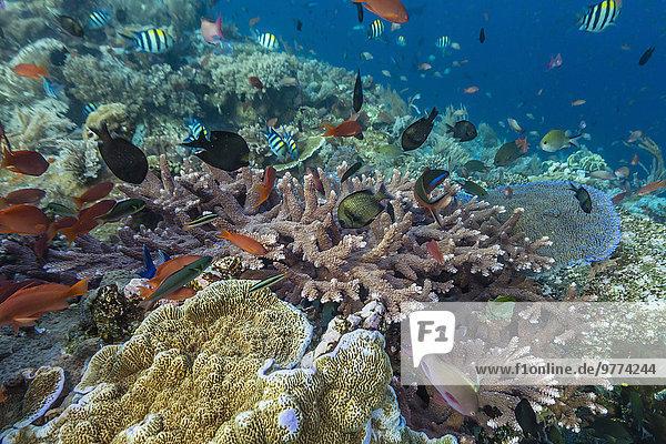 Fisch Pisces Südostasien Asien Indonesien Riff