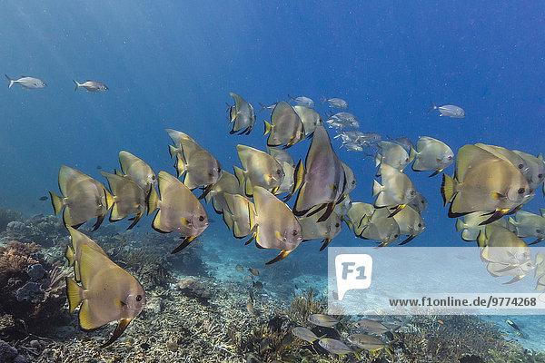 Fledermausfisch Insel Südostasien Asien Indonesien Fischschwarm