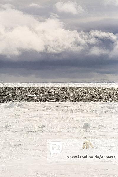 Adult polar bear (Ursus maritimus) on first year sea ice near Cape Fanshawe  Spitsbergen  Svalbard  Arctic  Norway  Scandinavia  Europe