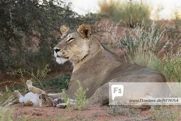Lioness (Panthera leo) with small cub  Kgalagadi Transfrontier Park  South Africa  Africa