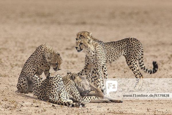 Südliches Afrika Südafrika Gepard Acinonyx jubatus töten Afrika Baby Gnu