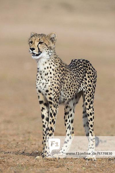 Südliches Afrika Südafrika Gepard Acinonyx jubatus Afrika junges Raubtier junge Raubtiere Northern Cape Nordkap