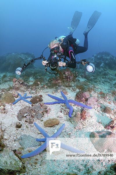 Taucherin fotografiert Blauen Seestern (Linckia laevigata)  Mindanaosee  Cebu  Philippinen  Asien