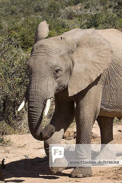 Afrikanischer Elefant (Loxodonta africana)  Addo-Elefanten-Nationalpark  Ostkap  Südafrika