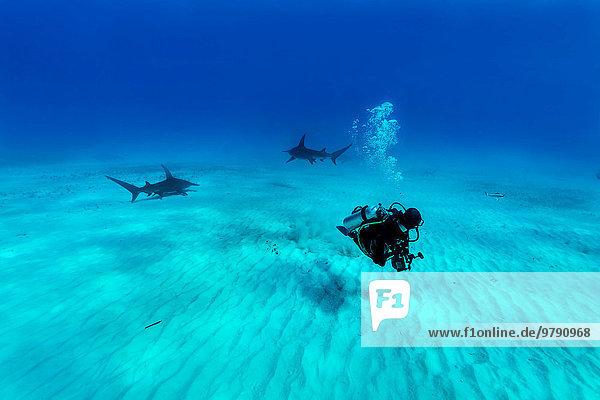 Hammerhead sharks (Sphyrna mokarran) with diver  Bimini  Bahamas  North America