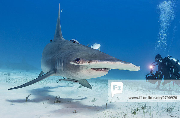 Great hammerhead shark and Diver (Sphyrna mokarran)  Bimini  Bahamas  North America