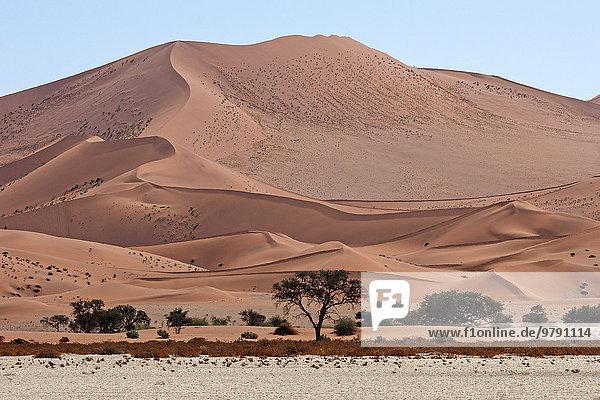 Sanddünen  davor Kameldornbäume (Vachellia erioloba)  Sossusvlei  Namib-Wüste  Namib-Naukluft-Park  Namibia  Afrika