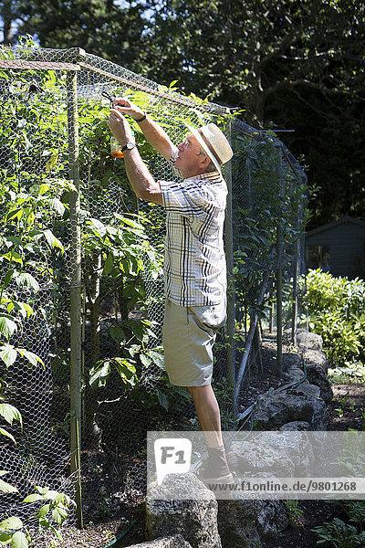 Senior Man fastening snail trap on fence  Bournemouth  County Dorset  UK  Europe