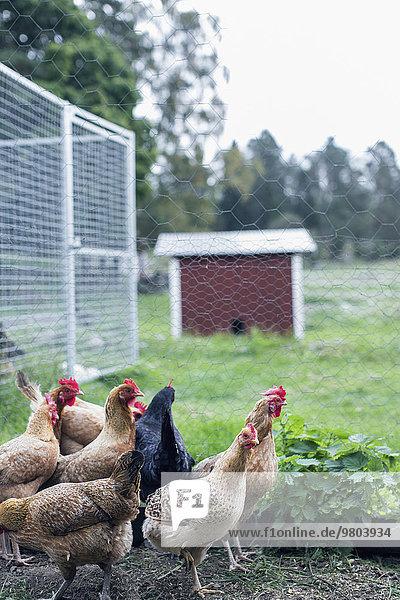 Henne auf der Geflügelfarm
