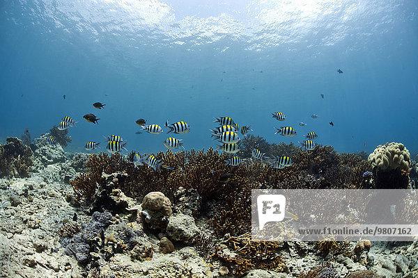 Scherenschwanz-Sergeant (Abudefduf sexfasciatus) im Korallenriff vor Menjangan  Bali  Indonesien  Asien