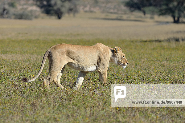 Lioness (Panthera leo)  adult female  walking in the grass  Kgalagadi Transfrontier Park  Northern Cape  South Africa  Africa