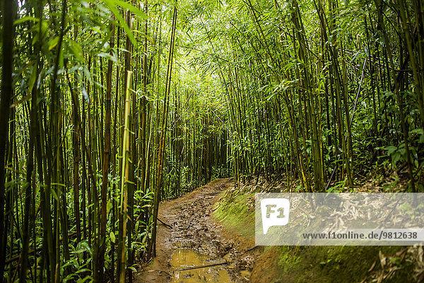 Bamboo trail at Manoa Falls  Honolulu  Hawaii  USA