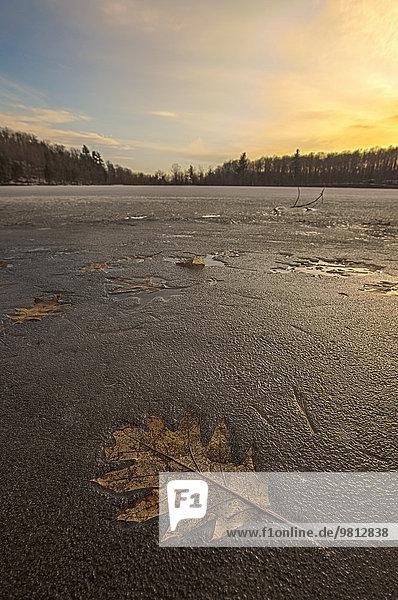Eichenblatt gefroren im Lac des Bouleaux bei Sonnenuntergang  Mont-Saint-Bruno Nationalpark  St-Bruno-de-Montarville  Quebec  Canada