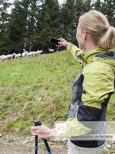 Österreich  Maria Alm  blonde Frau fotografiert Schafherde mit Smartphone