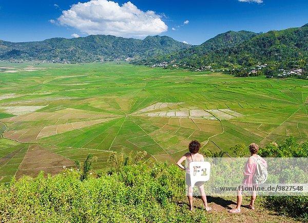 Spinnwebe Feld Reis Reiskorn Spinne