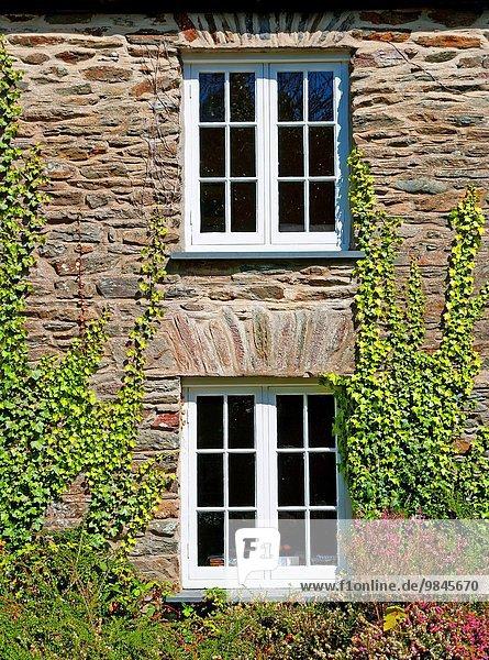 Efeu Hedera helix bedecken Wand britisch Großbritannien Cornwall England alt