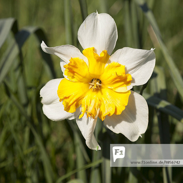 Yellow-white Daffodil (Narcissus)  North Rhine-Westphalia  Germany  Europe