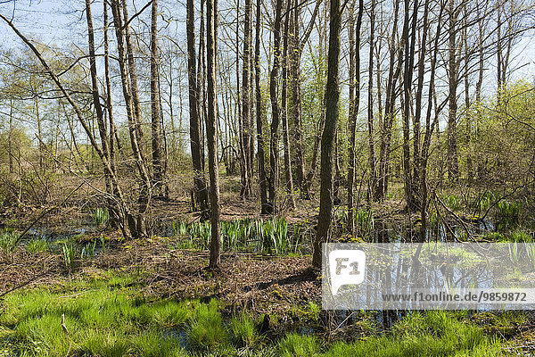 Alder carr  Common Alder trees (Alnus glutinosa) in spring  Wunstorfer Moor nature reserve  Lower Saxony  Germany  Europe