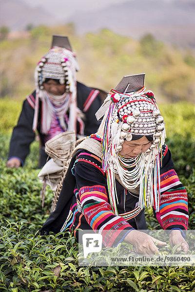 Frauen vom Bergvolk der Akha pflücken Tee  Doi Mae Salong  Nordthailand  Thailand  Asien